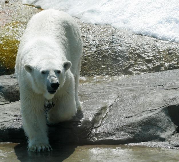 White polar bear in zoo