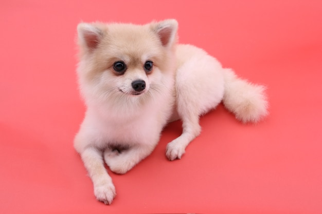 White pomeranian dog on red