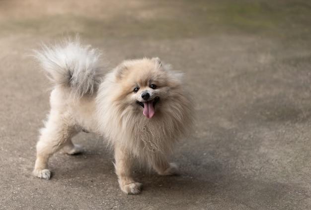 白いポメラニアン犬