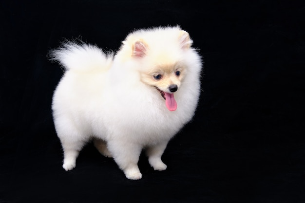 The white pomeranian is isolated standing on a black background.