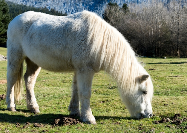 White pony grazing grass in the pastures