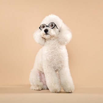 White poodle wearing funny glasses