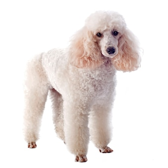 White poodle on white