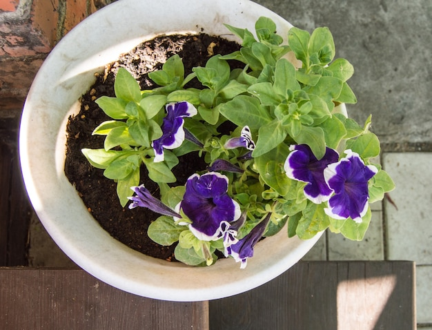 A white pot with purple petunia stands on the open veranda top view on a summer day