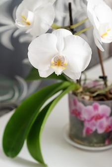 흰색 화분에 심은 phalaenopsis 난초 만개