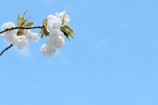 White prunus serrulata, spring cherry blossom