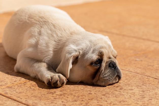 일광욕 누워 흰색 퍼그 품종 개입니다.