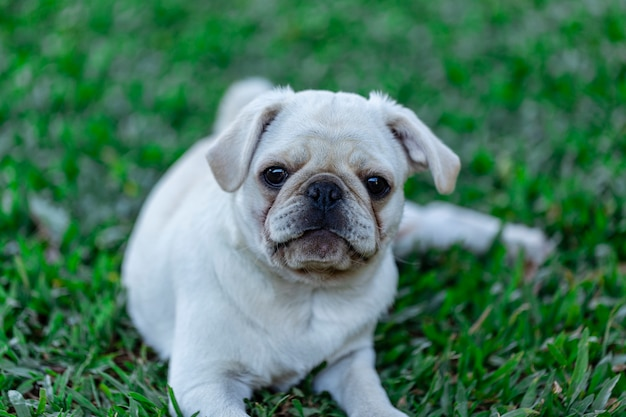 White pug breed dog lying resting on the grass.