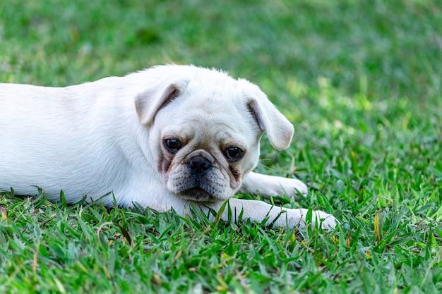 잔디에 쉬고 누워 화이트 퍼그 품종 개