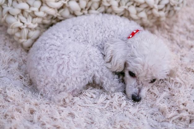 毛布で休んで白い子犬