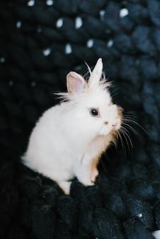 A white rabbit on a dark blue knitted plaid