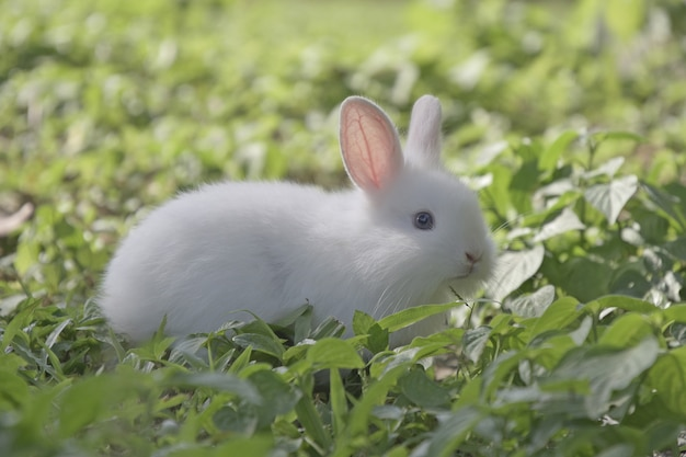 White rabbit eating grass on green fields in the morning.