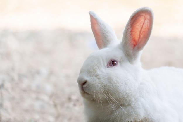 Белый кролик на открытом воздухе. крупным планом кролика кролика в сельском хозяйстве фермы. кролики мелкие млекопитающие в семье leporidae
