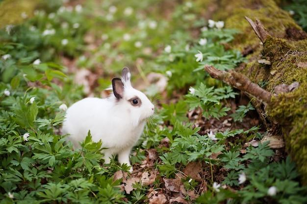 Расположение белого кролика в весеннем лесу.