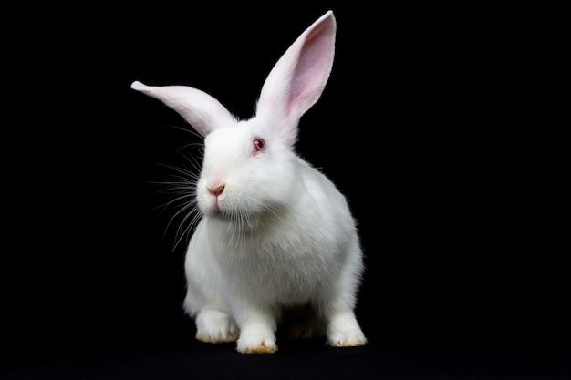 뒷다리에 서 있는 흰 토끼. 측면보기. 검정색 배경