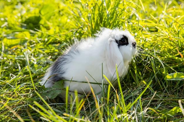 黒い斑点のある白いウサギが芝生の上に座っています