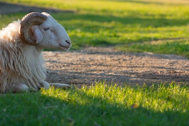 White ram on field.