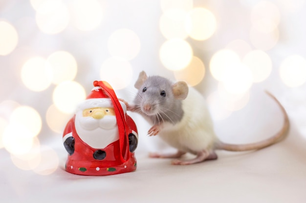 White rat on a background of yellow spotlights holds his paw on ceramic santa claus