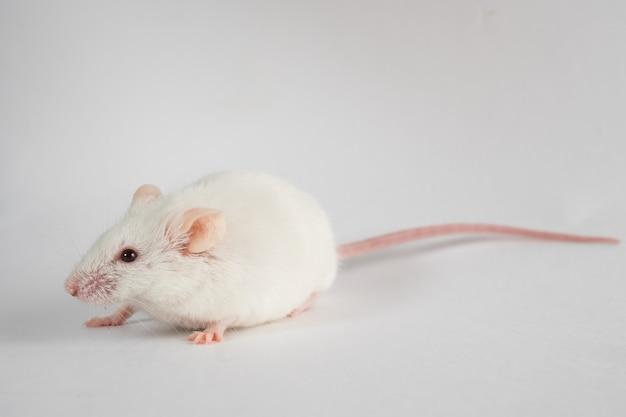 Белая крыса, изолированные на белом фоне.