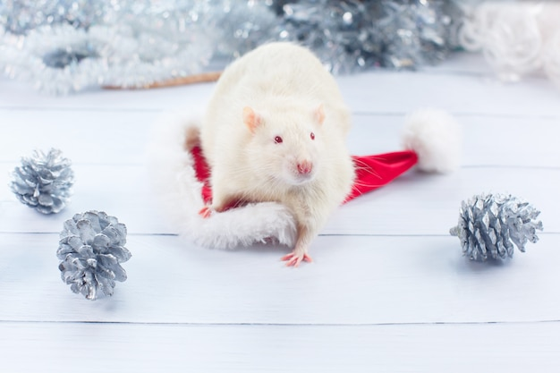 White rat looks out of a christmas hat