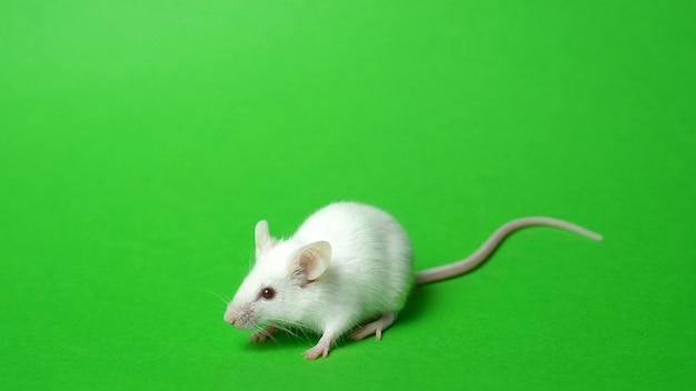 Белая крыса на зеленом экране.