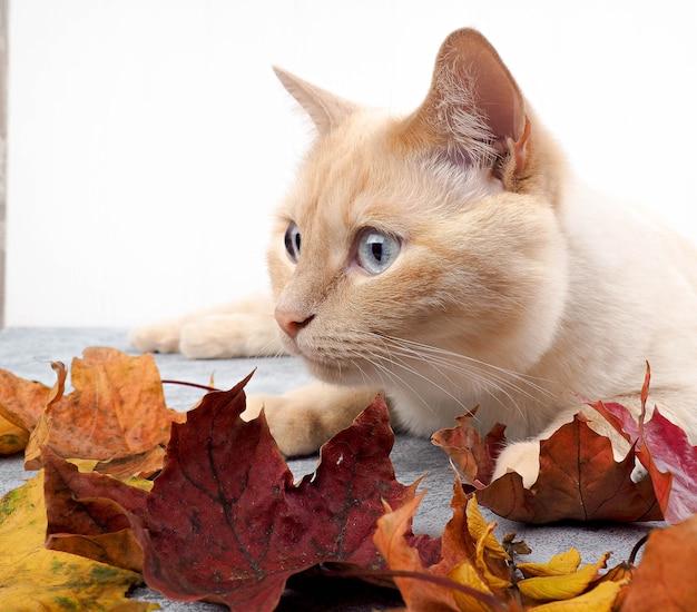 Белый красный кот на бетонном фоне в осенних листьях лежа, играя, осеннюю концепцию.