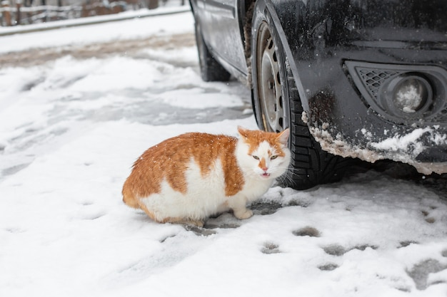 White-red fat cat walks in the snow in the yard near the car