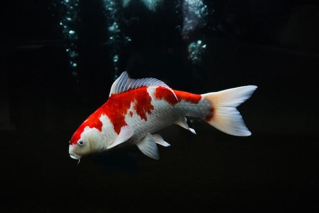 黒の背景に分離された白赤鯉
