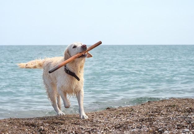 White retriever dog on the beach