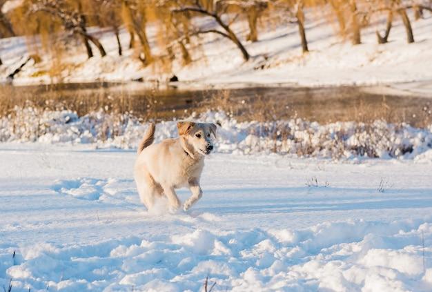 冬の自然の中で白いレトリーバー犬。雪の上で遊ぶ白いゴールデンレトリバーの子犬。晴れた冬の日