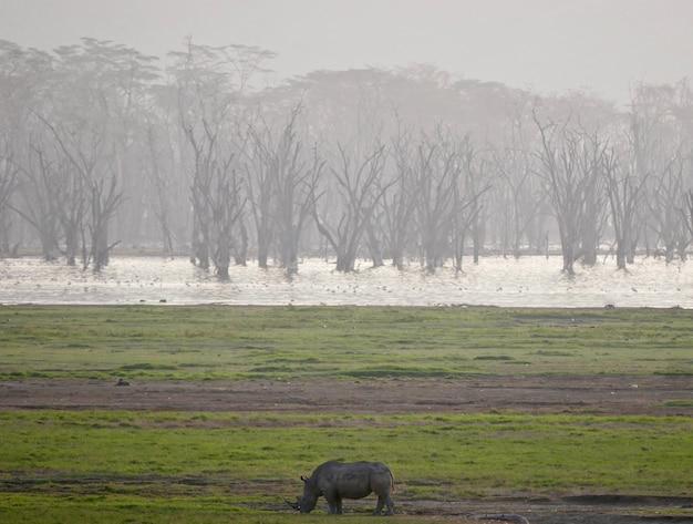 Белый носорог в озере накуру - кения