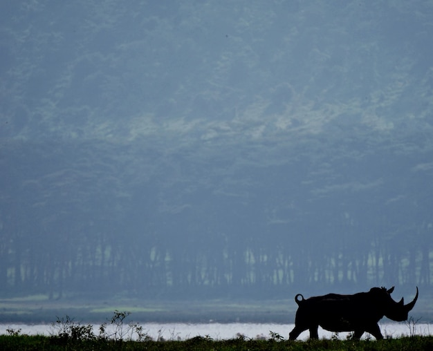 Белый носорог в озере накуру