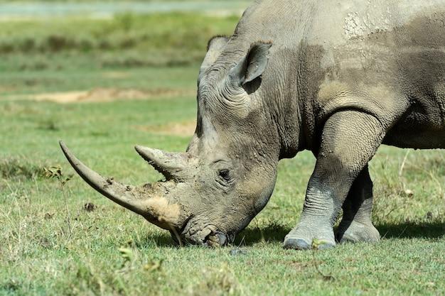 Белый носорог в естественной среде обитания африки. кения