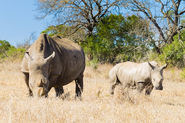 """White rhinoceros female with puppy, from hluhluweã¢â€â""""imfolozi park, south africa. african wildlife. ceratotherium simum"""