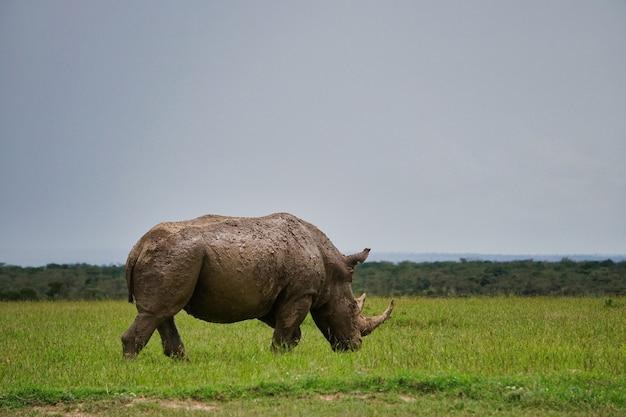 Белый носорог на зеленом лугу