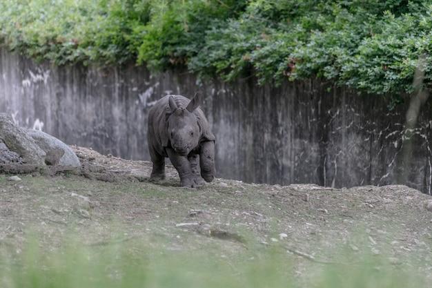 木製のフェンスと緑に囲まれた動物園を走るシロサイ