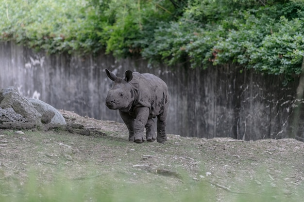 Белый носорог бегает по зоопарку, окруженному деревянными заборами и зеленью