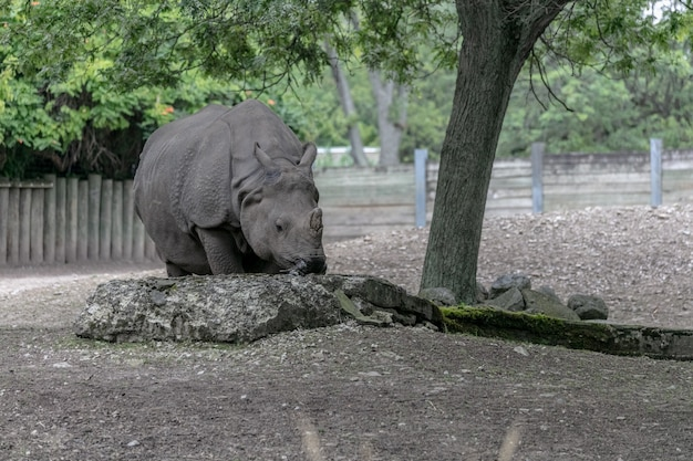 White rhinoceros walking in a field surrounded by woods and greenery under sunlight