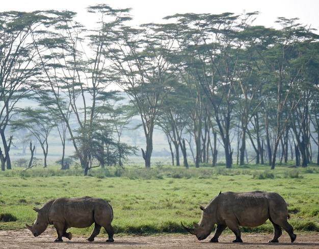 ナクル湖のシロサイ-ケニア