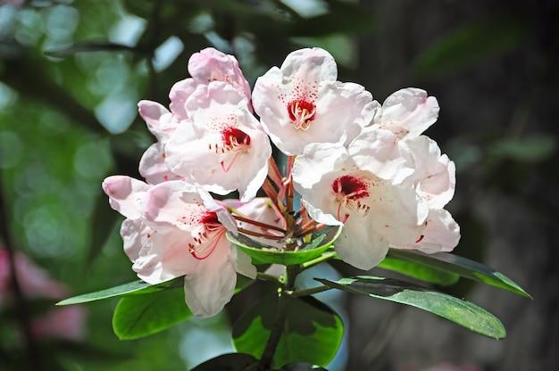 公園には白いシャクナゲの花が咲きます。春に咲く白いツツジの花