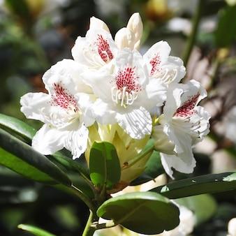 白いシャクナゲの花が咲く