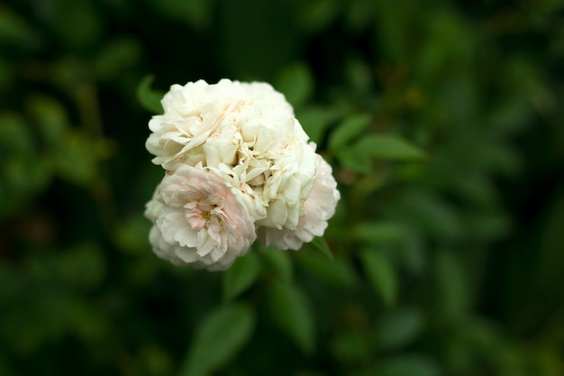 White rose blooming in a garden  top view