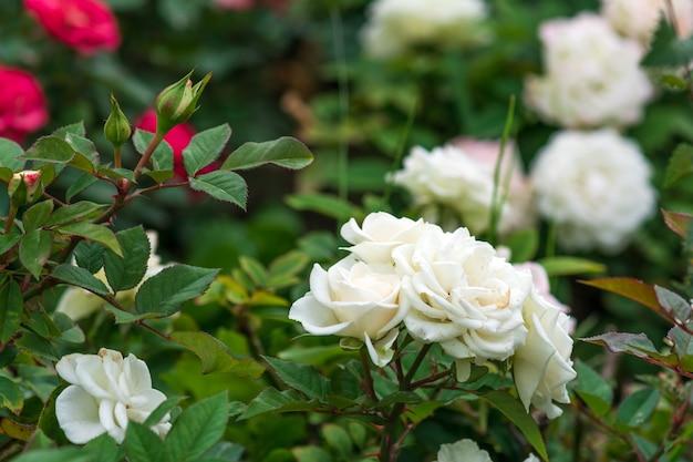 Кусты белых роз в саду
