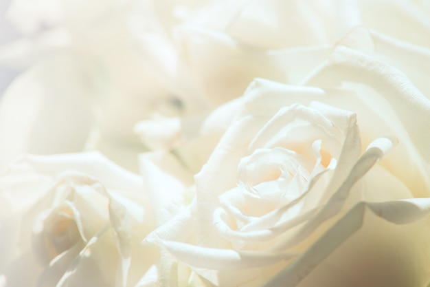 White rose close-up for background