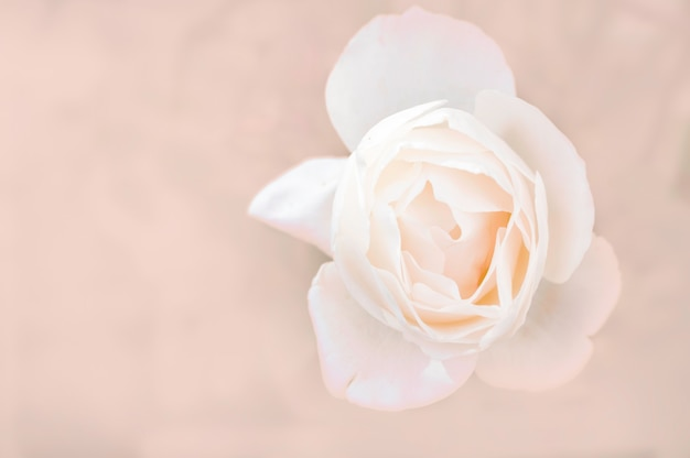 White rose close-up can use as wedding background. soft blur focus.