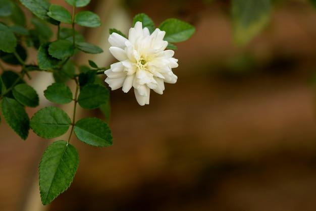 White rose flower on nature background.