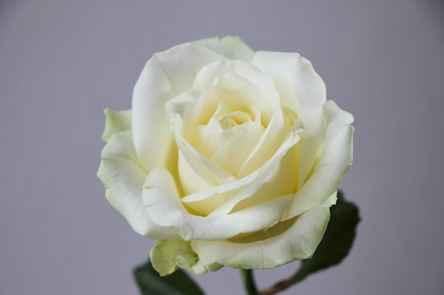 White rose on a gray background