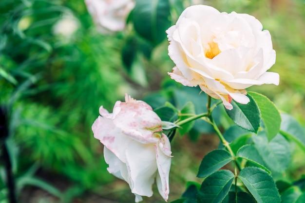 庭で育つ白いバラ。