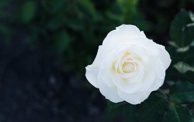 White rose grows in the garden