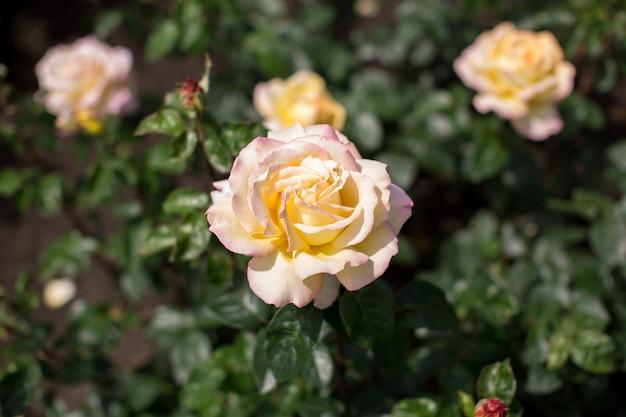 庭の白いバラ